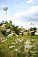 Queen Anne's lace flowers with wildflowers in field