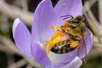 Biene sammelt Nekatar im Krokus