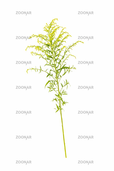 solidago canadensis isolated on white,