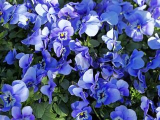 Hornveilchen, Viola cornuta, horned pansy, tufted pansy
