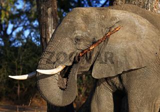 Elefant am Ufer des Chobe, Botswana; Loxodonta africana; elephant at riverside of Chobe, Botsuana