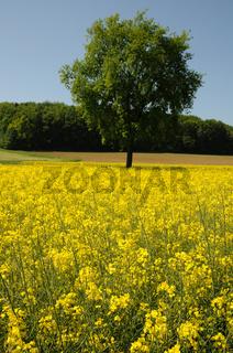 Brassica napus, Raps, Rape, Quercus robur, Eiche, Oak