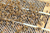 Bienen auf dem Honiggitter