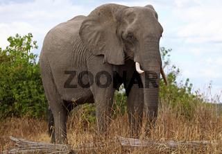 Elefant im Chobe Nationalpark, Botswana; Loxodonta africana; elephant at Chobe National Park, Botsuana