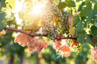 Ripe Vine grapes on a farm, Tuscany, Italy