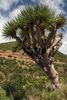La Palma 2013 - Drachenbaum