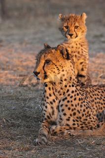 Junger Gepard (Acinonyx jubatus) mit Gepardenmutter im Abendlicht