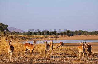 Impala-Herde am Ufer des Luangwa, Schwarzfersenantilopen, Sambia, South Luangwa Nationalpark, Aepyceros melampus