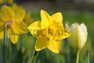 Narcissus pseudonarcissus, Narzisse, Daffodil