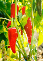 Red Espelette chili peppers