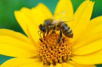 Biene sammelt Blütennektar