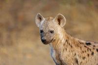 Portrait of a young spotted hyena (Crocuta crocuta)