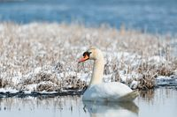 Wild bird mute swan in winter on pond