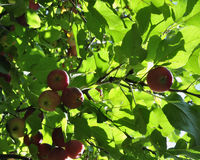 Apple tree. Diet, fresh and healthy.