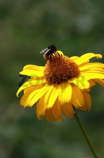 gelbe Blume mit Hummel