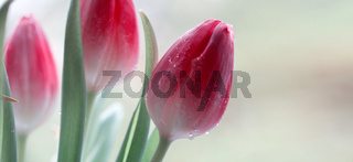 Pink tulips isolated on blur gray background.