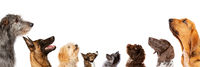 group of eight dogs looking up, portrait in profile