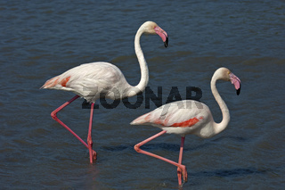 Zwei Rosa Flamingos (Phoenicopterus roseus) wadet im Wasser