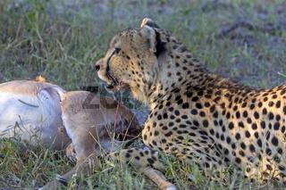 Gepard beim Fressen