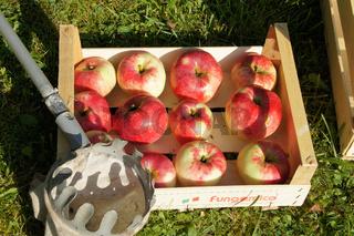 Malus domestica Jakob Fischer, Apfelernte, Obstkiste