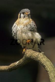 Buntfalke (Falco sparverius)