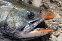 Close-up view of snout wild salmonid fish Salvelinus often called charr or char with pink spots over darker body.