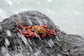 Rote Klippenkrabbe, Felsenkrabbe, Quadratkrabbe (Grapsus grapsus