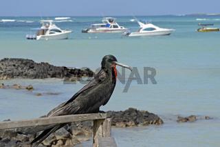 Prachtfregattvogel (Fregata magnificens) im Fischerhafen von  Pu