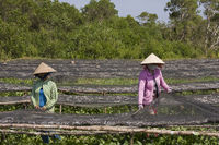 Frauen  sortieren  frisch gefangenen Fisch ,Phu Quoc island, Vietnam