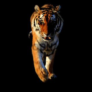 tigerbig3600x3600.jpg