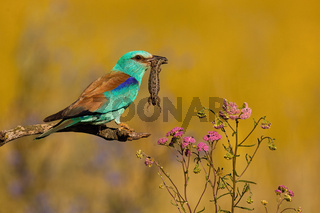 European roller holding killed lizard in a beak and perching on a branch