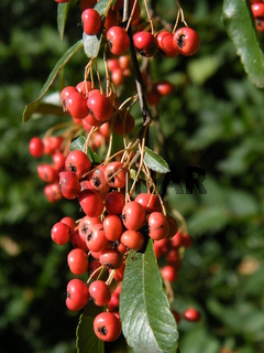 Red berries on the branch in sunlight