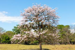Panama Las Lomas, guayacan tree with pink flower