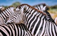 Zebras, Steppenzebras, Etosha, Namibia | Plains Zebras, Etosha NP, Namibia