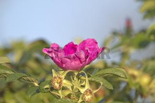Kartoffel-Rose, Kartoffelrose, Rosa rugosa, Japanese rose,
