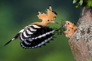 Eurasian hoopoe feeding chick in tree in summer nature.
