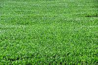 Texture of  green corn, maize,