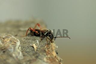 Braunrötlicher Spitzdeckenbock - Stenopterus rufus