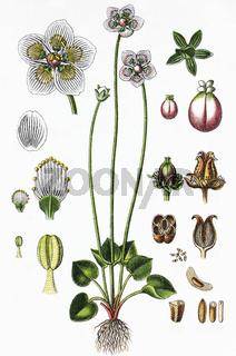 Das Sumpf-Herzblatt Parnassia palustris