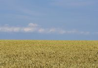 wheat on field against blue sky