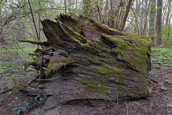 Alter abgestorbener Baumstumpf