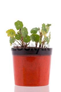 Nasturtium leafs in pot