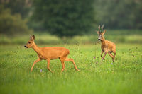 Roe deer buck chasing doe on meadow in summer rutting season