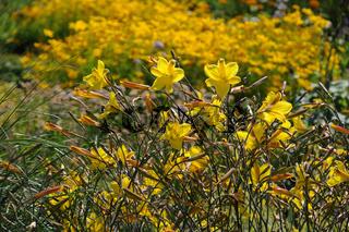 Hemerocallis, Taglilie, Daylily