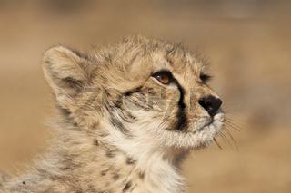 Junger Gepard (Acinonyx jubatus) im Porträt
