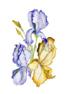 Irises flowers isolated art illiustration