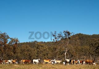 Herd of Australian beef cattle with blue sky