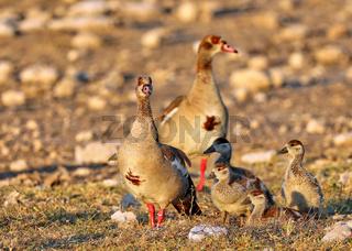 Nilgans-Familie, Etosha-Nationalpark, Namibia, family of Egyptian geese, Etosha National Park, Namibia