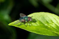 Detailaufnahme von einer auf einem Blatt sitzenden Schmeißfliege vor grünem Hintergrund