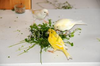 Kanarienvogel, Stellaria media, Vogelmiere